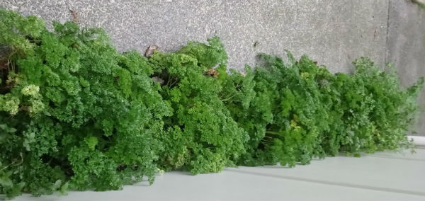 parsley bed2