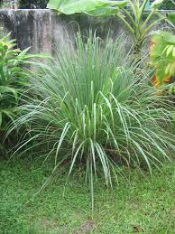 p lemongrass