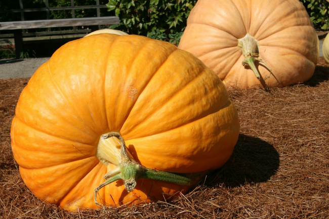 So you want to grow a giant pumpkin......