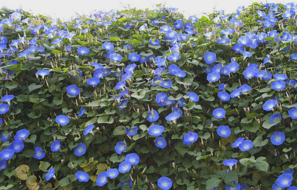 how to take morning glory seeds the best way