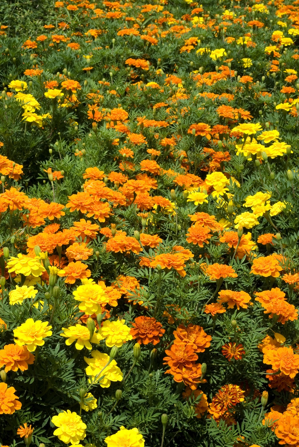 Marigold Nemo Mix - WHAT CAN I SOW THIS AUTUMN? - Kings ... Marigold Plant With Roots