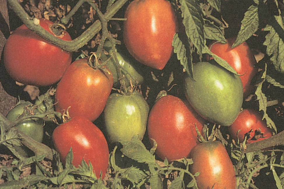 when growing seedling tomatos how to get heavy stocks
