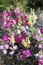 Antirrhinum Twilight Mix