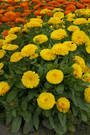 Calendula Candyman Orange & Yellow