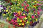 Calibrachoa Cascading Colours F1