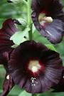 Hollyhock Jet Black
