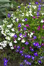 Lobelia Colour Casade mixed