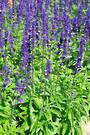 Salvia Select Blue (T)