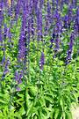 Salvia Select Blue