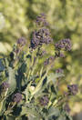 Broccoli Sprouting Summer Purple